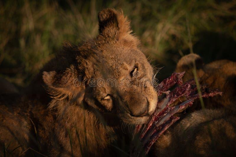 Primer de las costillas de la roedura de la leona de la matanza foto de archivo