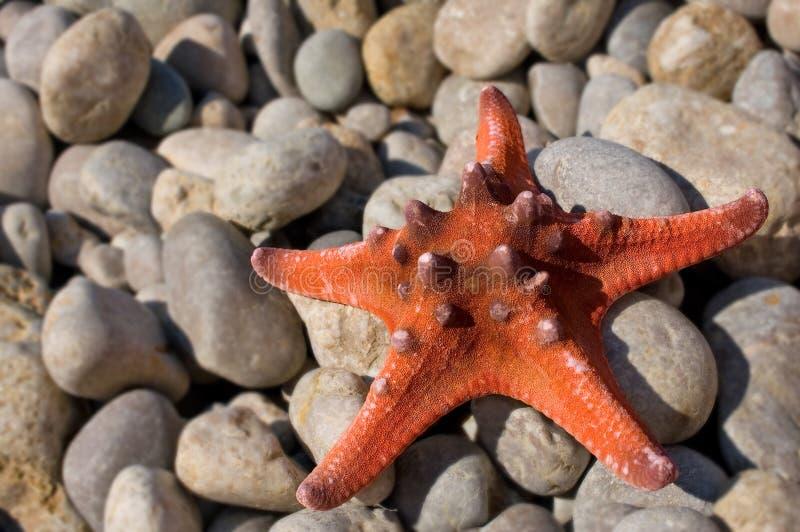 Primer de las estrellas de mar imagen de archivo
