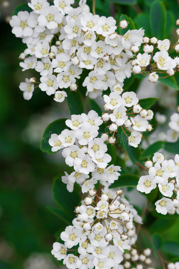 Primer de las flores blancas foto de archivo