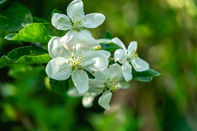 Primer de las flores blancas del manzano en fondo verde borroso del jardín Tema soleado brillante de la primavera fotos de archivo libres de regalías