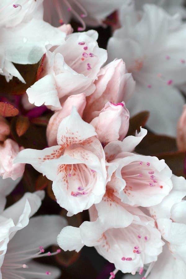 Primer de las flores blancas de la azalea fotografía de archivo