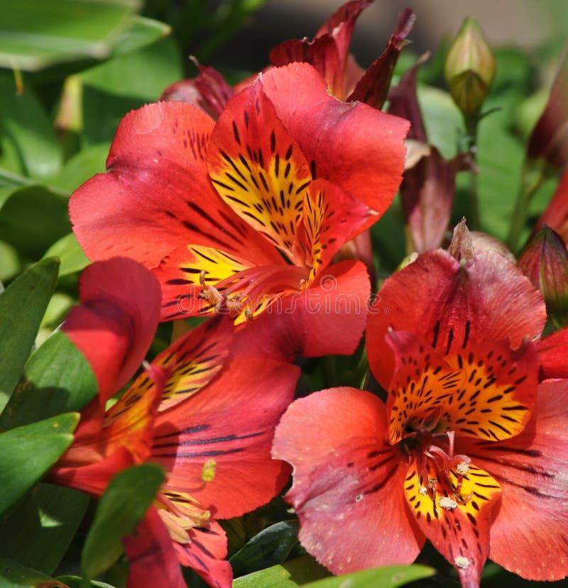 Primer de las flores coloridas de Inca Lily en la plena floración en un jardín imagen de archivo libre de regalías