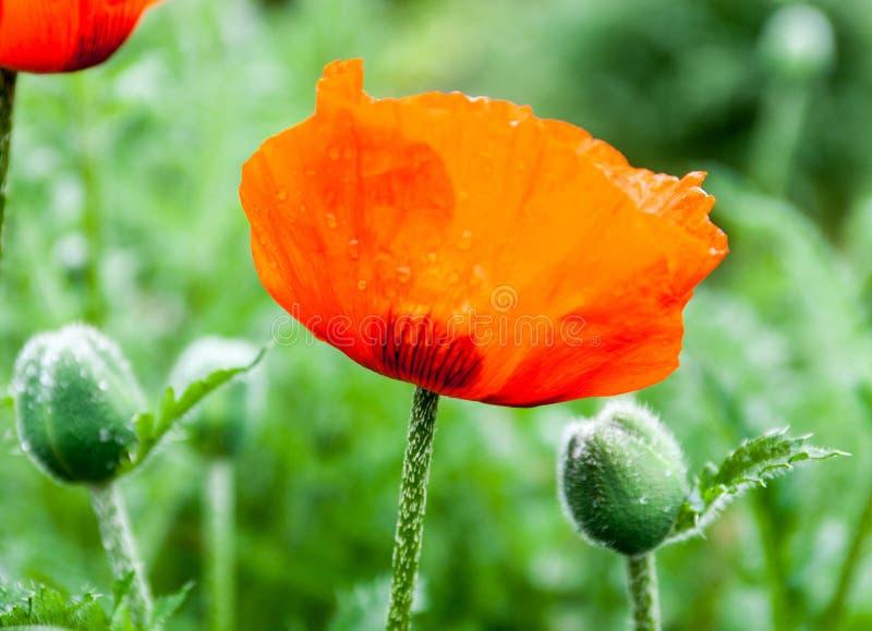 Primer de las flores de la amapola y de los brotes rojos florecientes de la amapola fotografía de archivo