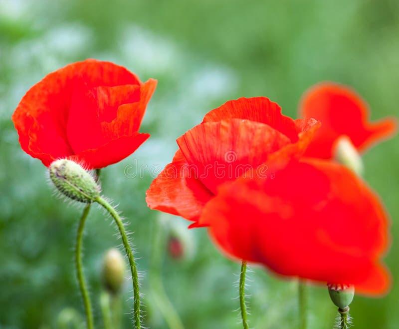 Primer de las flores de la amapola y de los brotes rojos florecientes de la amapola imagen de archivo