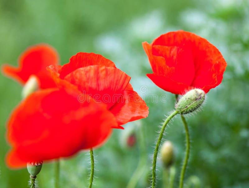 Primer de las flores de la amapola y de los brotes rojos florecientes de la amapola foto de archivo libre de regalías