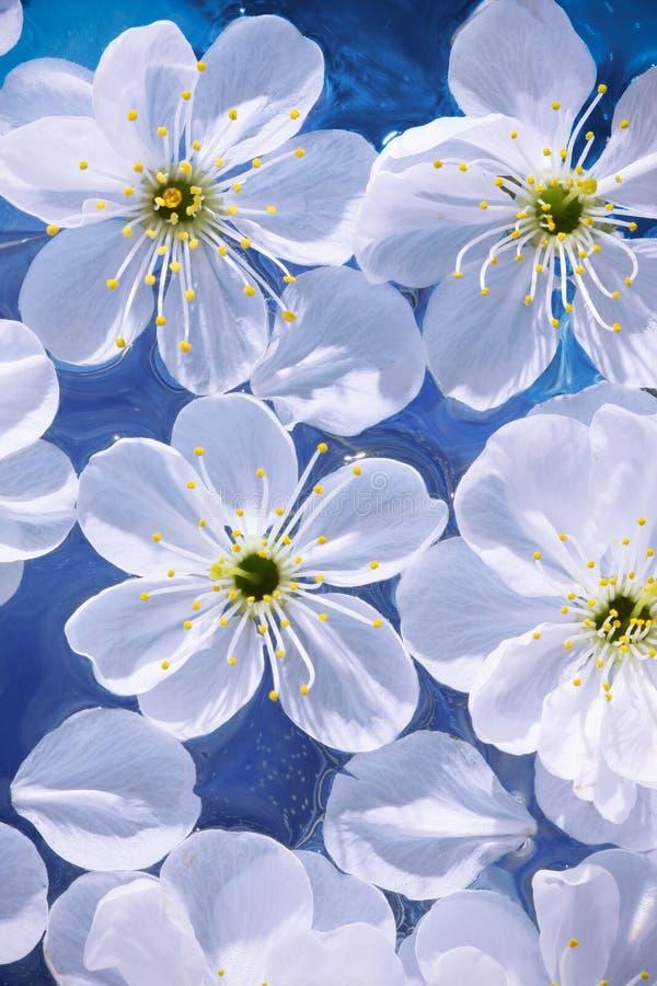 Primer de las flores de la cereza imagen de archivo libre de regalías