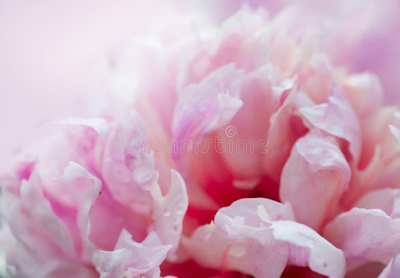 Primer de las flores de la peonía imagen de archivo libre de regalías