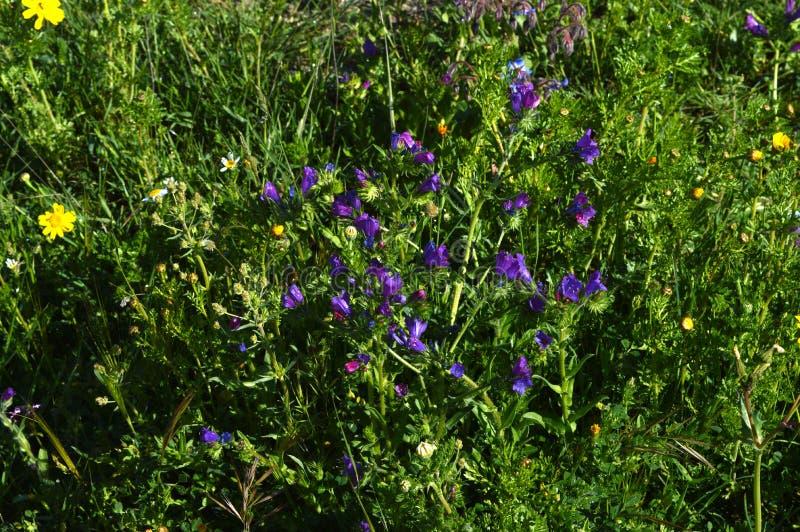 Primer de las flores del Bugloss de la v?bora, Blueweed, Echium Vulgare, naturaleza, macro foto de archivo libre de regalías