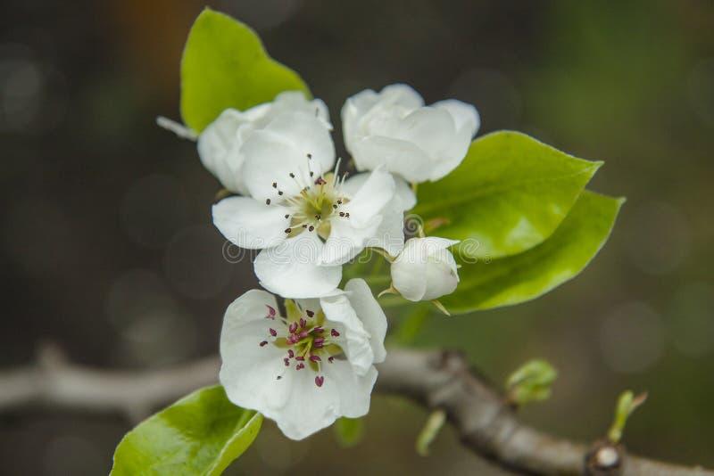 Primer de las flores del peral Apple-flores blancas en primavera fotos de archivo