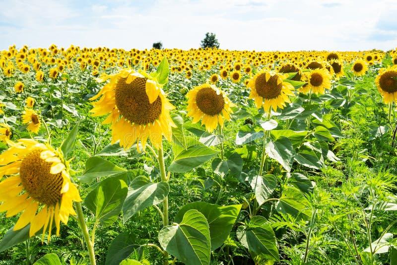 primer de las flores en la tarde del campo del girasol fotos de archivo