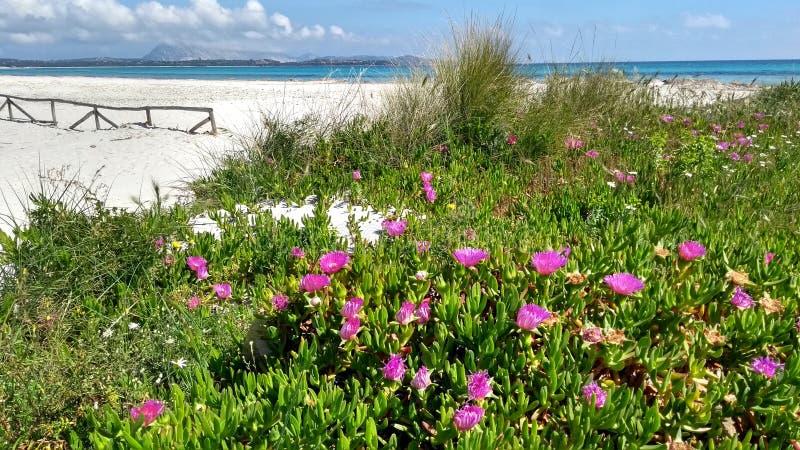 Primer de las flores fucsias del Hotentote-higo Edulis del Carpobrotus en la arena blanca de la playa de Budoni en Cerdeña con e fotografía de archivo libre de regalías