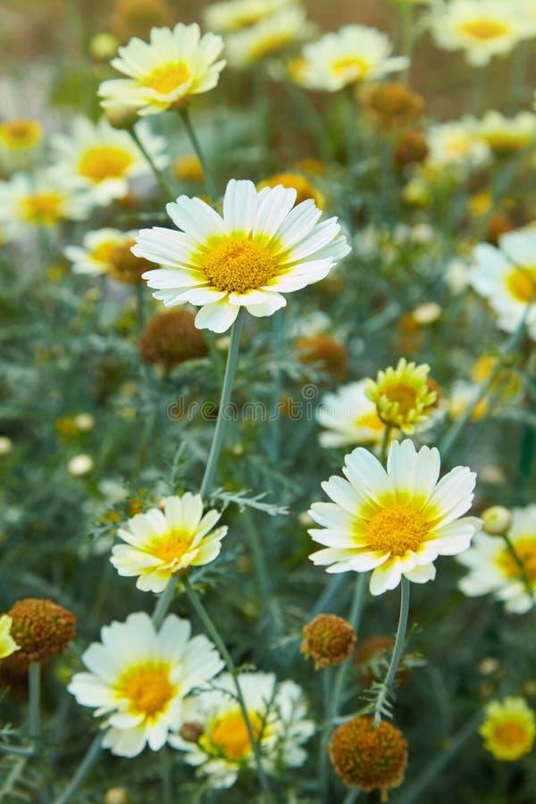 Primer de las flores de la margarita de las manzanillas del jardín Escena hermosa de la naturaleza con las manzanillas médicas fl fotografía de archivo