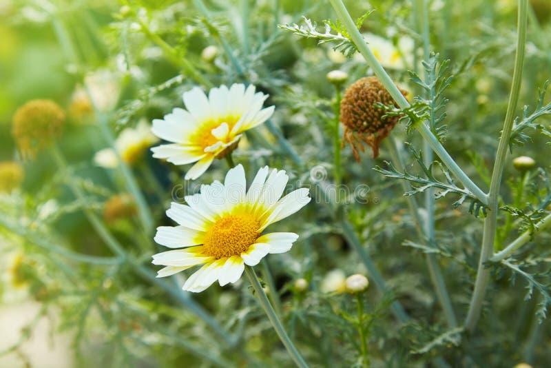 Primer de las flores de la margarita de las manzanillas del jardín Escena hermosa de la naturaleza con las manzanillas médicas fl foto de archivo