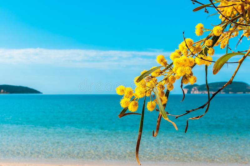 primer de las flores de la mimosa en la playa fotografía de archivo libre de regalías