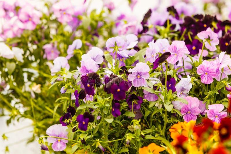 Primer de las flores púrpuras hermosas, pensamientos foto de archivo