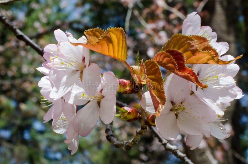 Primer de las flores rosáceas de la cereza con las hojas marrones jovenes imagenes de archivo