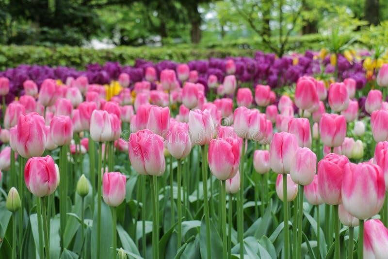 Primer de las flores rosadas abigarradas del tulipán imagenes de archivo