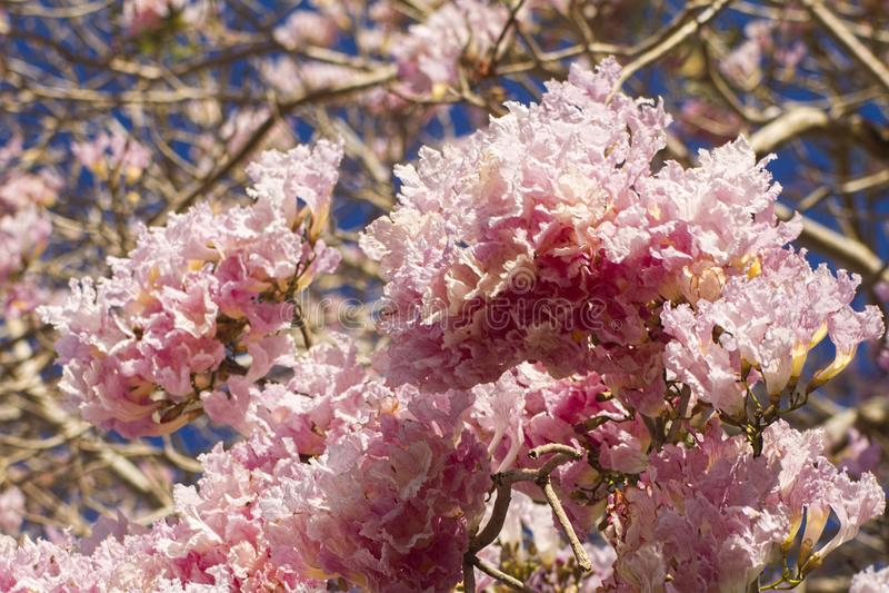 Primer de las flores rosadas del árbol de trompeta imagen de archivo