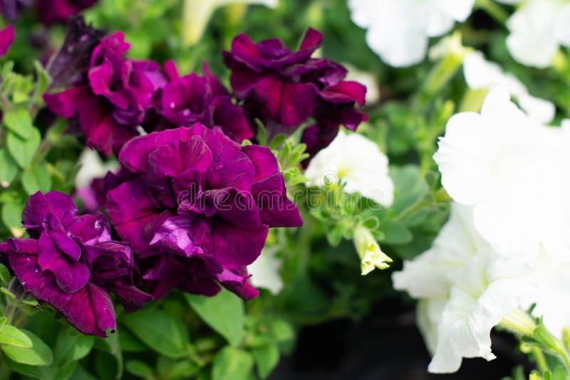Primer de las flores violetas y blancas imagen de archivo libre de regalías