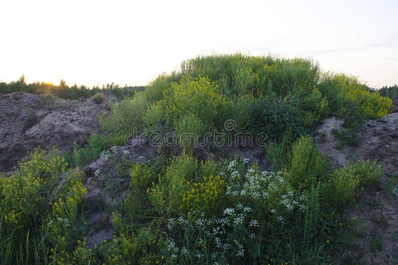 Primer de las hierbas y de las flores de prado en un montón arenoso fotografía de archivo libre de regalías