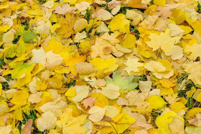 Primer de las hojas de arce del otoño en hierba verde fotos de archivo libres de regalías