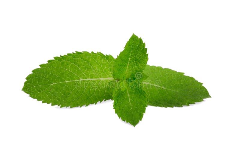 Primer de las hojas de menta fresca, aislado en un fondo blanco Menta verde, hierbabuena Planta medicinal Menta dulce de los offi imagen de archivo