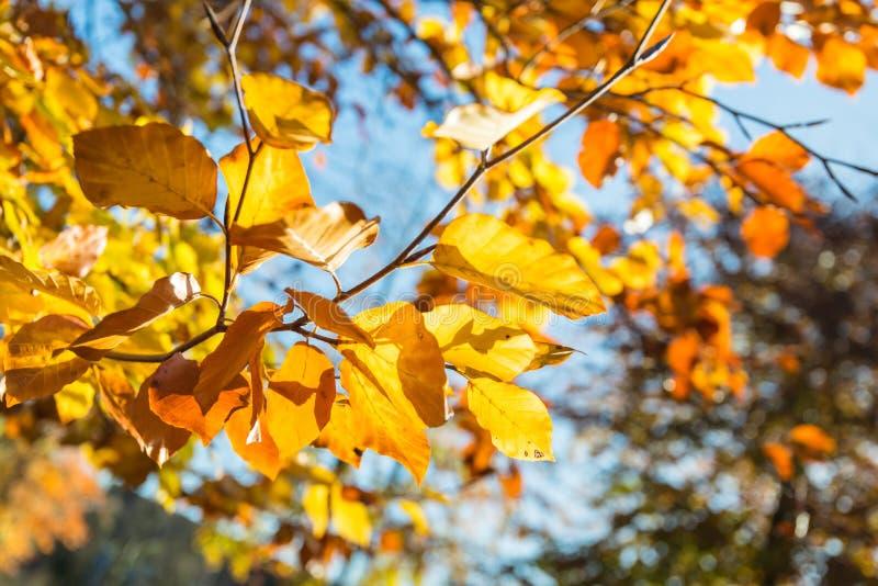 Primer de las hojas del amarillo en la temporada de otoño foto de archivo libre de regalías