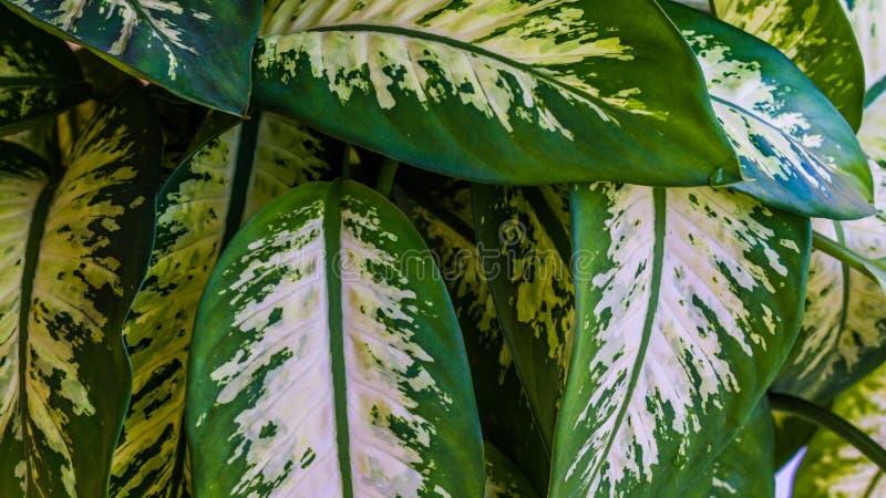 Primer de las hojas del dieffenbachia con el modelo hermoso imagen de archivo