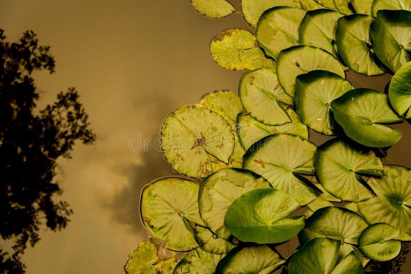 Primer de las hojas del lirio de agua foto de archivo libre de regalías