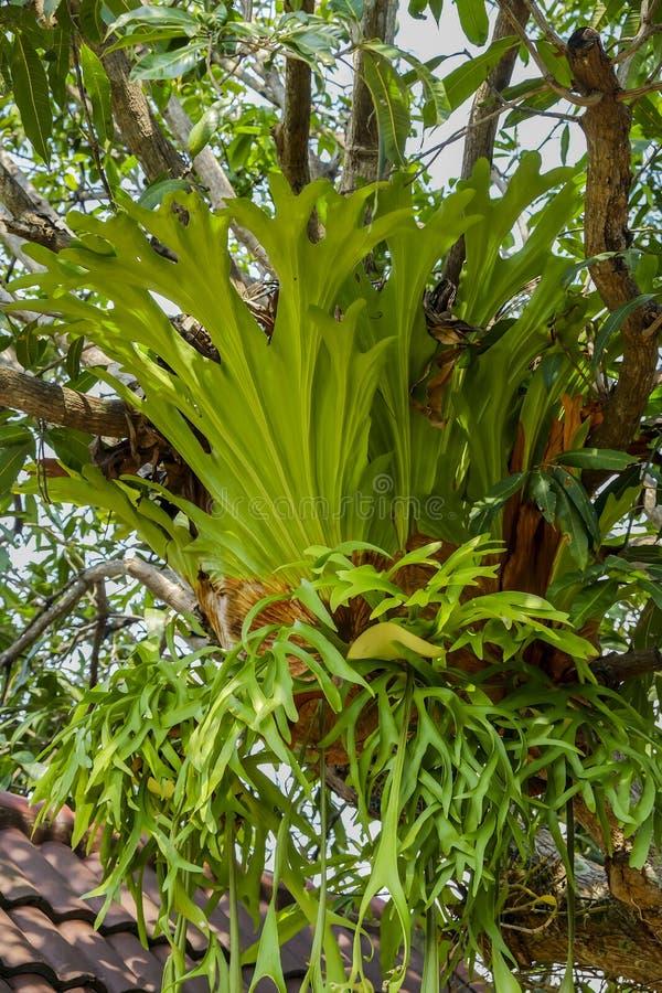 Primer de las hojas del superbum del Platycerium, holt del Platycerium fotos de archivo libres de regalías