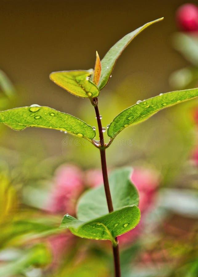 Primer de las hojas y de las floraciones de la alheña en fondo después de una precipitación fotos de archivo libres de regalías