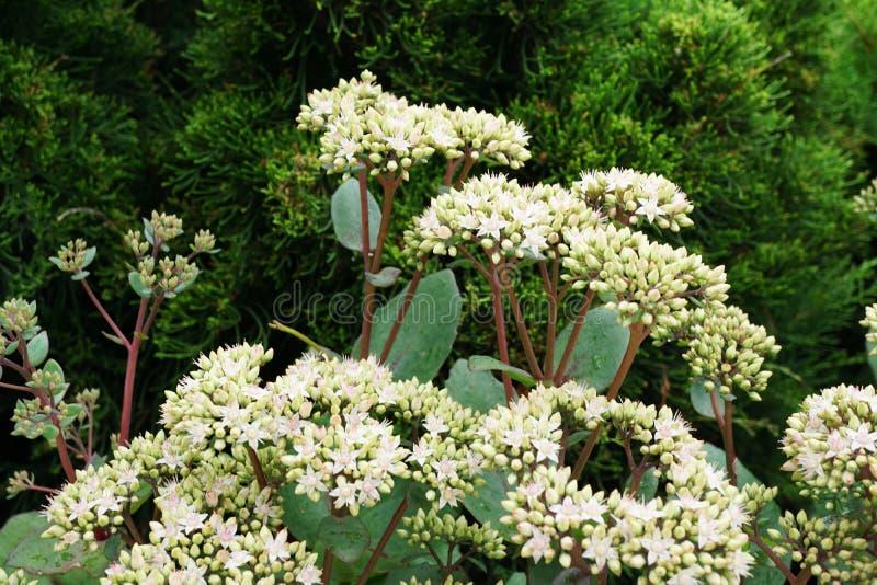 Primer de las inflorescencias florecientes de las flores blancas y rosadas fotos de archivo
