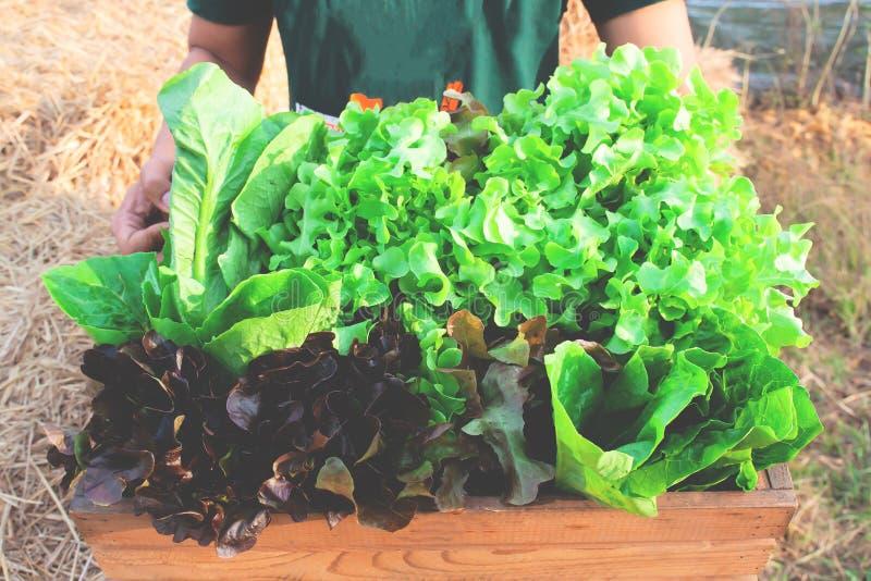 Primer de las manos del hombre que sostienen un cajón de madera grande por completo de verduras de ensalada recién cosechadas cru imagenes de archivo