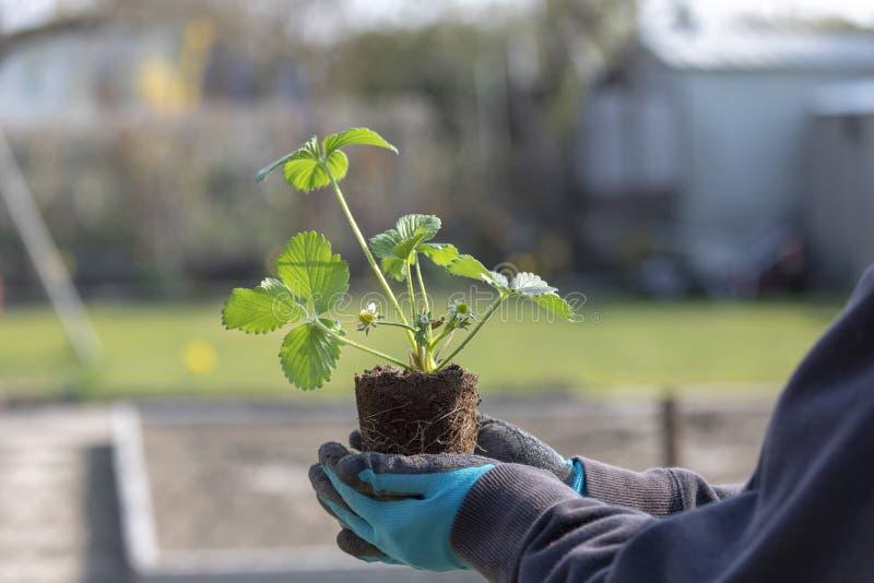 Primer de las manos de la mujer que plantan el almácigo de florecimiento de la fresa de yang en el jardín foto de archivo libre de regalías