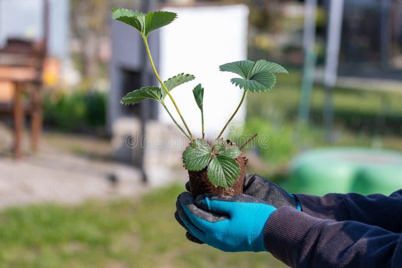 Primer de las manos de la mujer que plantan el alm?cigo de florecimiento de la fresa de yang en el jard?n foto de archivo