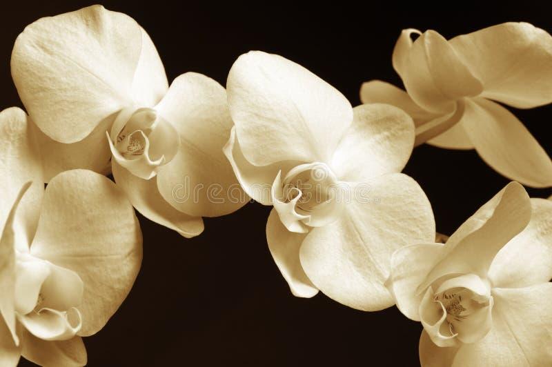 Primer de las orquídeas foto de archivo