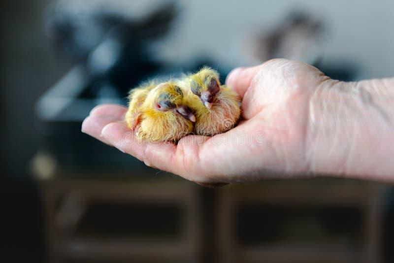 Primer de las palomas gemelas del bebé foto de archivo