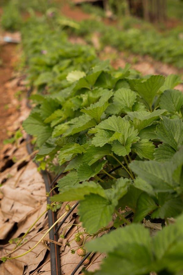Primer de las plantas de fresa con la irrigación por goteo fotos de archivo libres de regalías