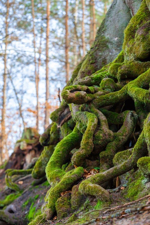 Primer de las raíces enredadas del árbol cubiertas con el musgo verde fotos de archivo