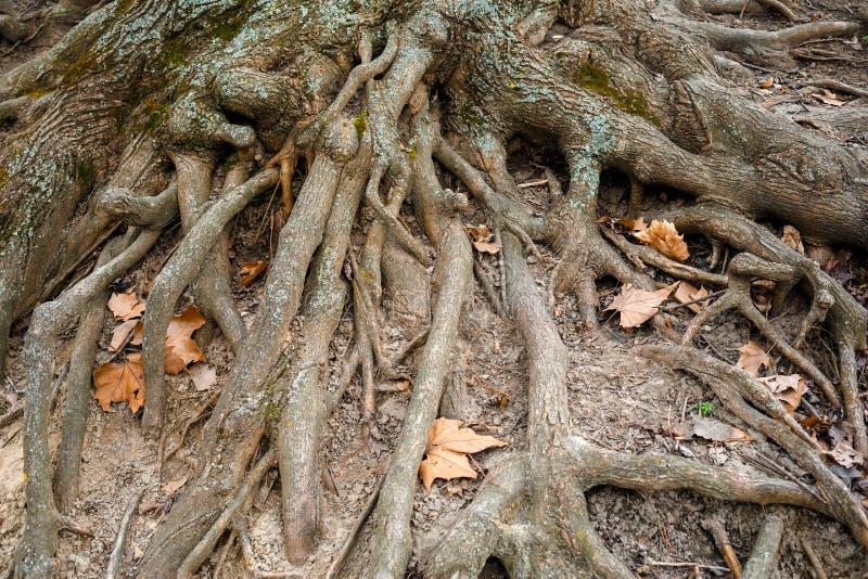 Primer de las raíces y del follaje del árbol imagen de archivo libre de regalías