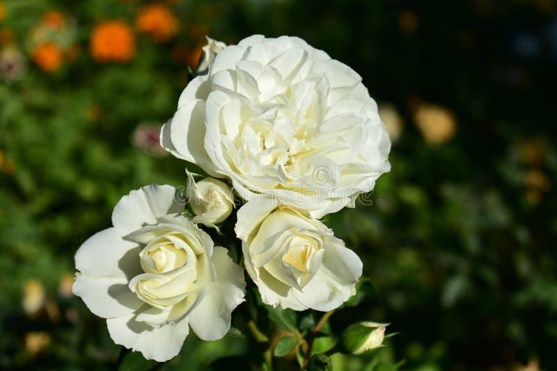 Primer de las rosas blancas Bush con las flores verdes de las hojas, anaranjadas y blancas Luz de Sun con las sombras fotografía de archivo libre de regalías