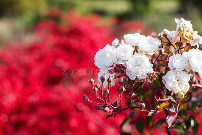 Primer de las rosas blancas del jardín imagenes de archivo