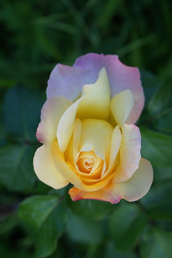Primer de las rosas blancas y rosadas de una flor imagenes de archivo