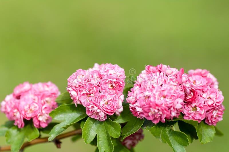 Primer de las rosas del árbol floreciente imagen de archivo
