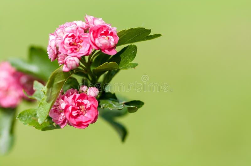 Primer de las rosas del árbol floreciente fotografía de archivo
