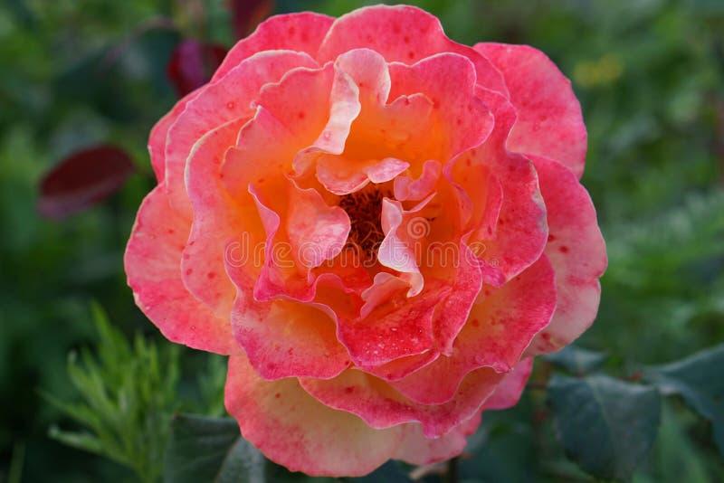 Primer de las rosas florecientes manchadas fotografía de archivo