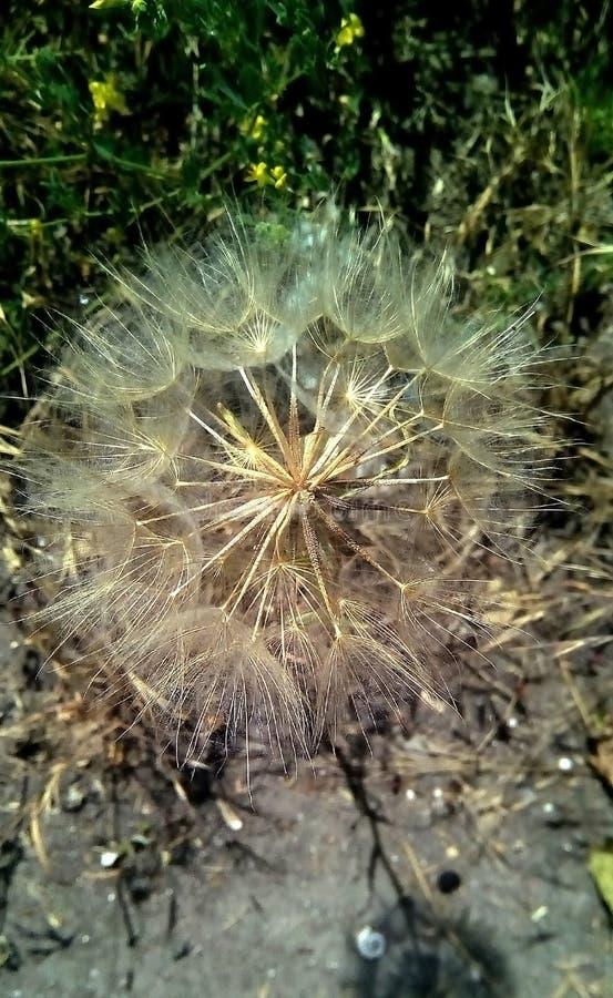 Primer de las semillas aéreas del diente de león en un fondo oscuro fotos de archivo