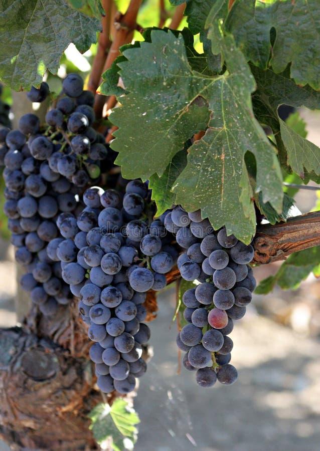 Primer de las uvas del viñedo en cortina fotos de archivo