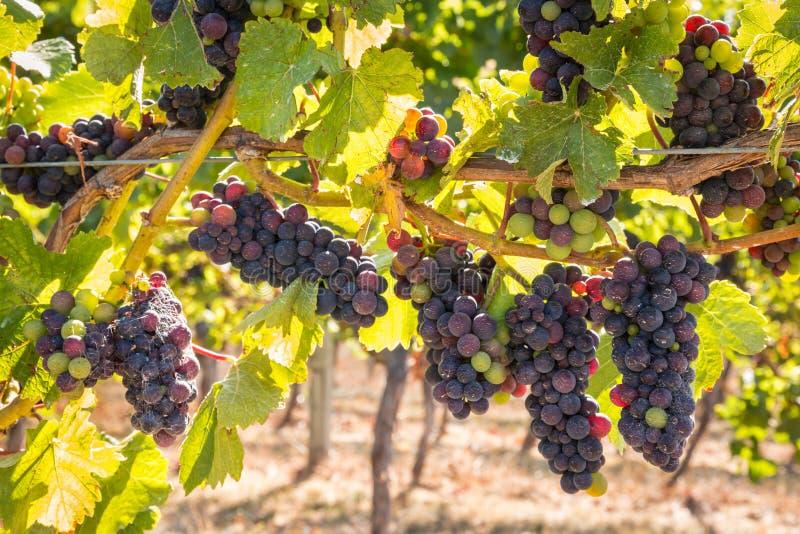 Primer de las uvas de vino tinto en vid en viñedo fotos de archivo
