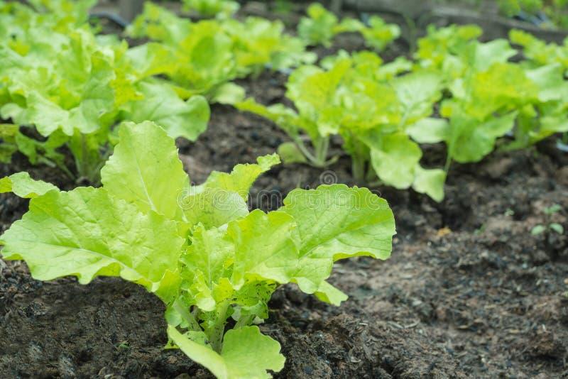 Primer de las verduras de ensalada frescas en huerto foto de archivo libre de regalías